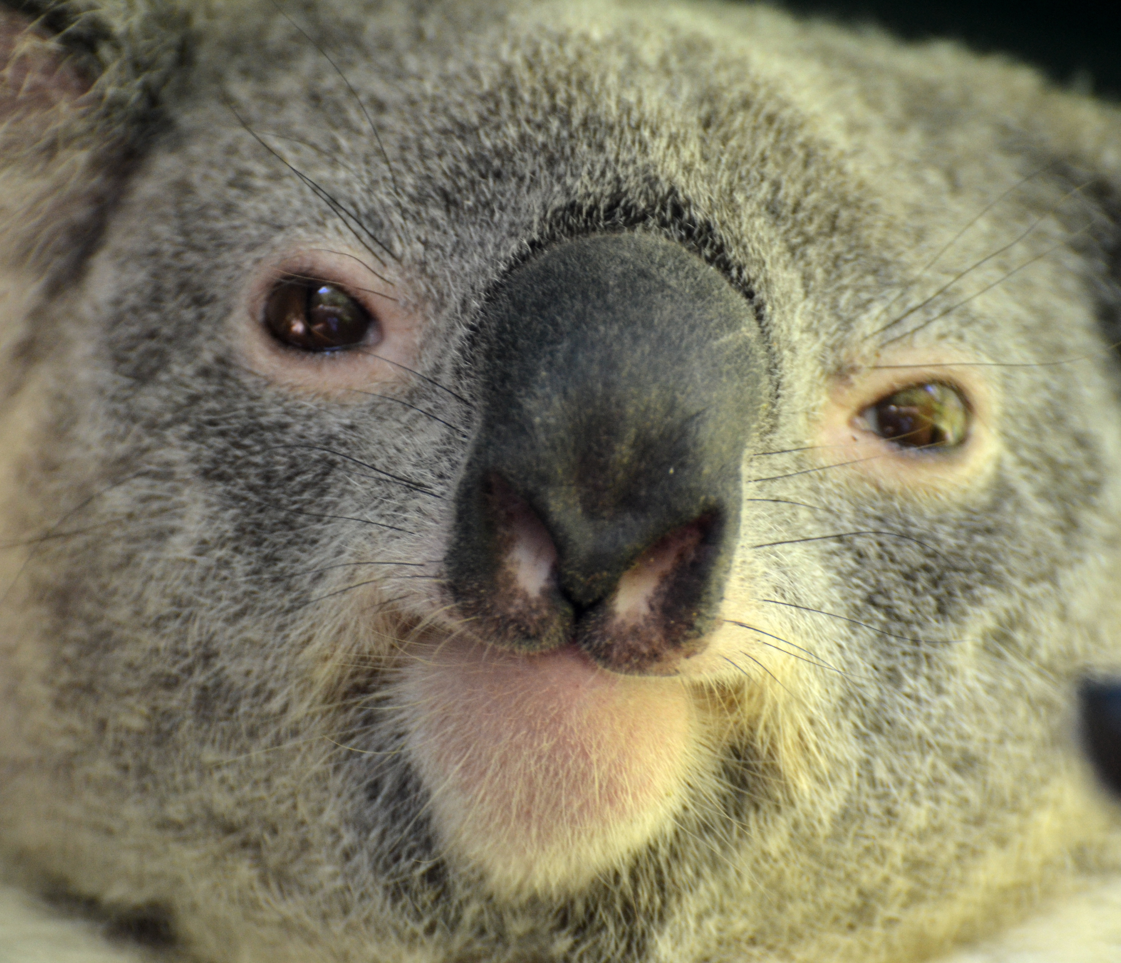 Koalas endangered in some parts of australia the smiths - Koala components ...