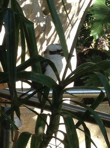 Kookaburra on the spa fence.